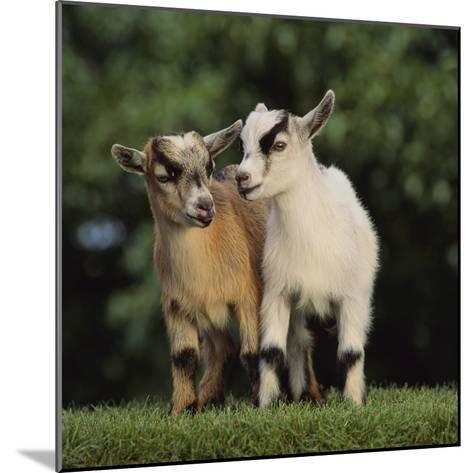 Pygmy Goats-DLILLC-Mounted Photographic Print