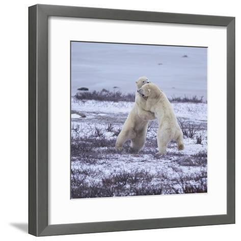 Polar Bears Fighting-DLILLC-Framed Art Print