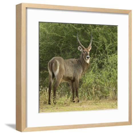 Common Waterbuck Portrait-Joe McDonald-Framed Art Print