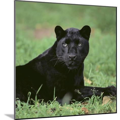 Black Panther Sitting in Grass-DLILLC-Mounted Photographic Print