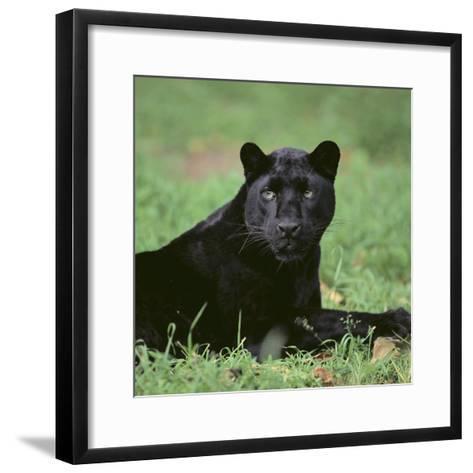 Black Panther Sitting in Grass-DLILLC-Framed Art Print
