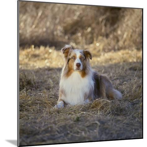 Australian Shepherd-DLILLC-Mounted Photographic Print