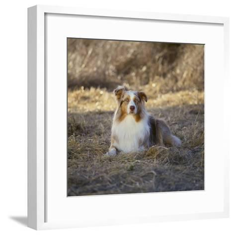 Australian Shepherd-DLILLC-Framed Art Print