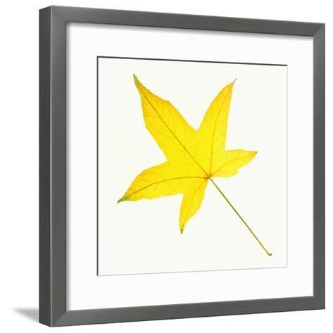 Sweet Gum Leaf-DLILLC-Framed Art Print