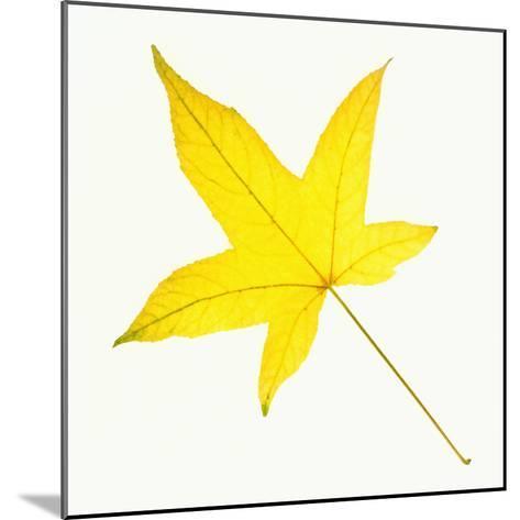 Sweet Gum Leaf-DLILLC-Mounted Photographic Print