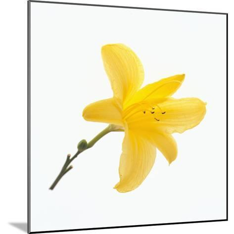 Lily Flower-DLILLC-Mounted Photographic Print