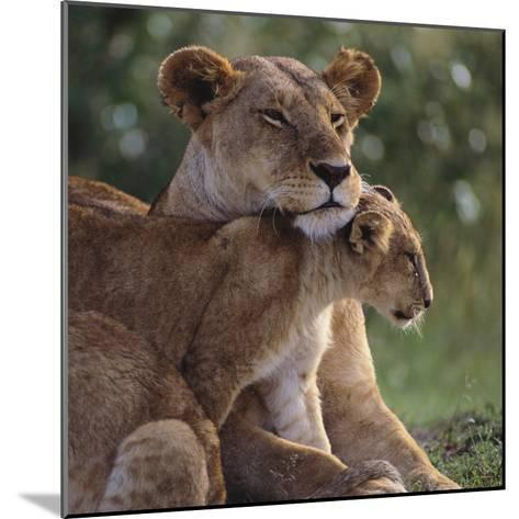 Lion Cub Nuzzling Mother-DLILLC-Mounted Photographic Print