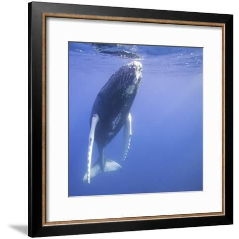 Humpback Calf near Surface-DLILLC-Framed Art Print