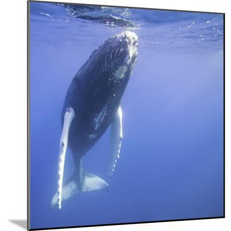 Humpback Calf near Surface-DLILLC-Mounted Photographic Print