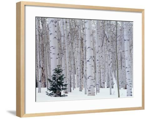 Aspen and Douglas Fir, Manti-Lasal National Forest, La Sal Mountains, Utah, USA-Scott T^ Smith-Framed Art Print