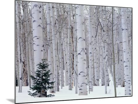 Aspen and Douglas Fir, Manti-Lasal National Forest, La Sal Mountains, Utah, USA-Scott T^ Smith-Mounted Photographic Print