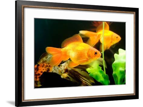 Tropical Aquarium Fish Macro Shot-PH.OK-Framed Art Print