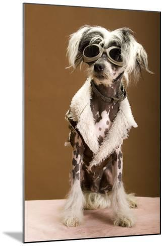 Sexy Chinese Crested Hairless Sporting A Cool Coat And Glasses- Candicecunningham-Mounted Photographic Print