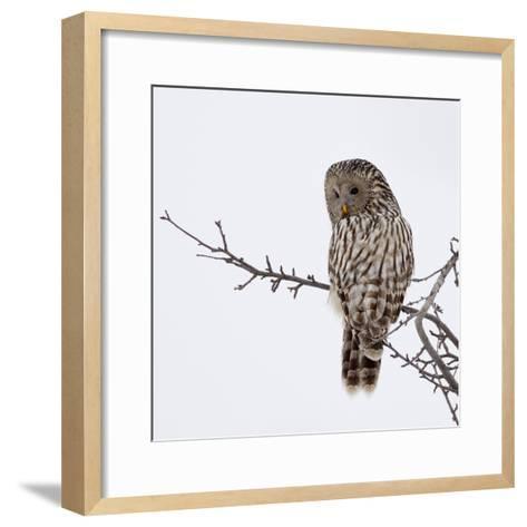 Ural Owl In Natural Habitat (Strix Uralensis)-geanina bechea-Framed Art Print