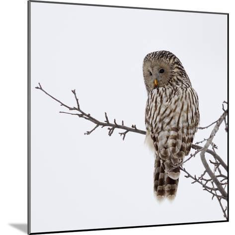 Ural Owl In Natural Habitat (Strix Uralensis)-geanina bechea-Mounted Photographic Print