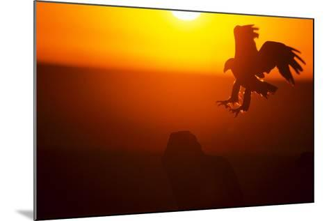 Golden Eagle At Dawn-outdoorsman-Mounted Photographic Print