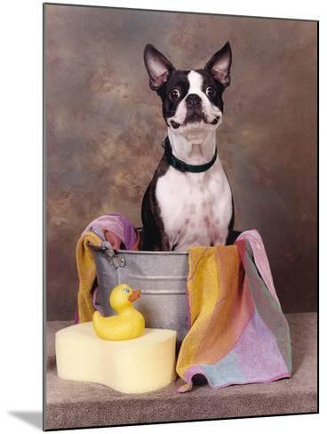 Boston Terrier In A Tub-Blueiris-Mounted Photographic Print