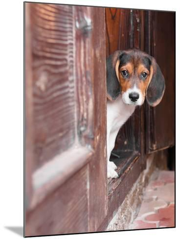 Portrait Of A Cute Beagle Puppy Sitting On Doorstep-jaycriss-Mounted Photographic Print