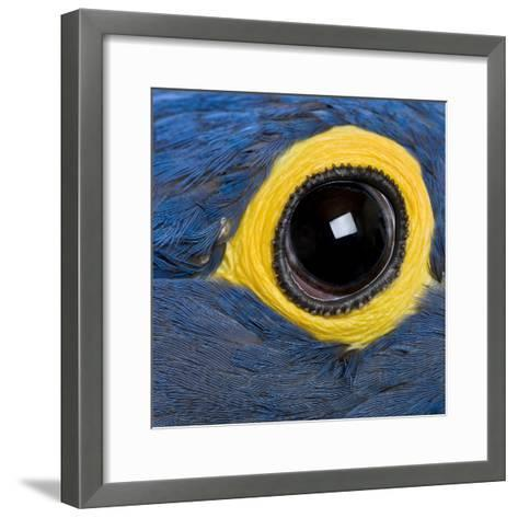 Hyacinth Macaw, 1 Year Old, Close Up On Eye-Life on White-Framed Art Print