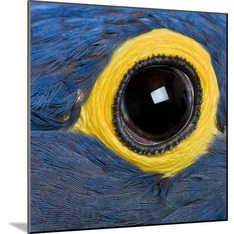 Hyacinth Macaw, 1 Year Old, Close Up On Eye-Life on White-Mounted Photographic Print