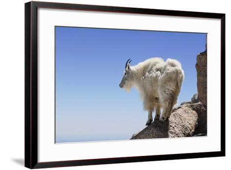 Mountain Goat On A High Mountain Ledge-Blueiris-Framed Art Print
