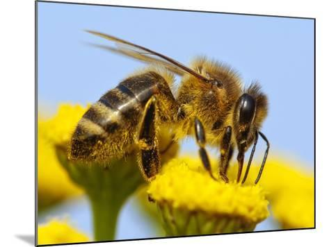 Detail Of Honeybee-Daniel Prudek-Mounted Photographic Print
