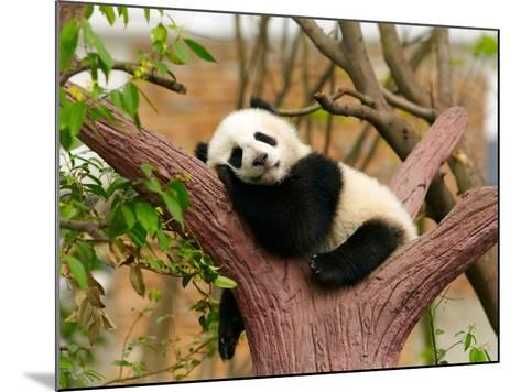 Sleeping Giant Panda Baby-silver-john-Mounted Photographic Print