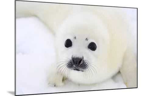 Baby Harp Seal Pup On Ice Of The White Sea-zanskar-Mounted Photographic Print