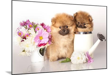 Two German (Pomeranian) Spitz Puppies And Flowers On White Background-Lilun-Mounted Photographic Print