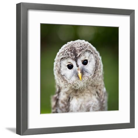 Close Up Of A Baby Tawny Owl (Strix Aluco)-l i g h t p o e t-Framed Art Print