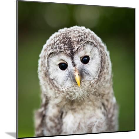Close Up Of A Baby Tawny Owl (Strix Aluco)-l i g h t p o e t-Mounted Photographic Print