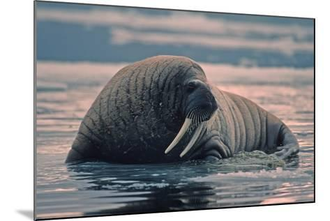 Walrus In Canadian Arctic-outdoorsman-Mounted Photographic Print