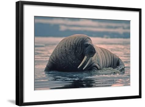 Walrus In Canadian Arctic-outdoorsman-Framed Art Print