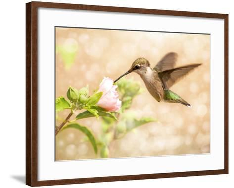 Dreamy Image Of A Young Male Hummingbird Feeding On A Light Pink Althea Flower-Sari ONeal-Framed Art Print