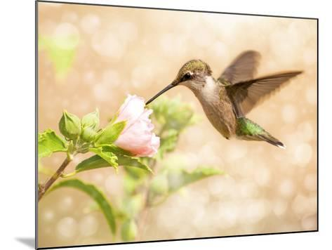 Dreamy Image Of A Young Male Hummingbird Feeding On A Light Pink Althea Flower-Sari ONeal-Mounted Photographic Print