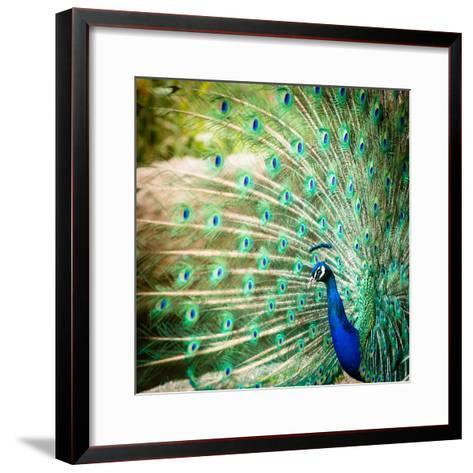 Splendid Peacock with Feathers Out (Pavo Cristatus)-l i g h t p o e t-Framed Art Print