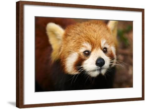 The Red Panda, Firefox-silver-john-Framed Art Print