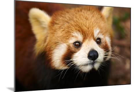 The Red Panda, Firefox-silver-john-Mounted Photographic Print