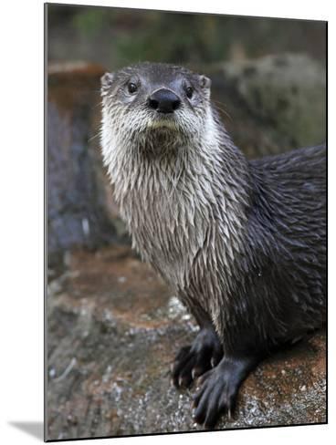 Otter - The Cutest European Mammal-l i g h t p o e t-Mounted Photographic Print