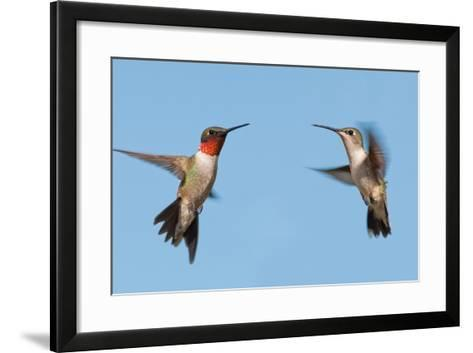 Two Ruby-Throated Hummingbirds, A Male And Female, Flying With A Blue Sky Background-Sari ONeal-Framed Art Print