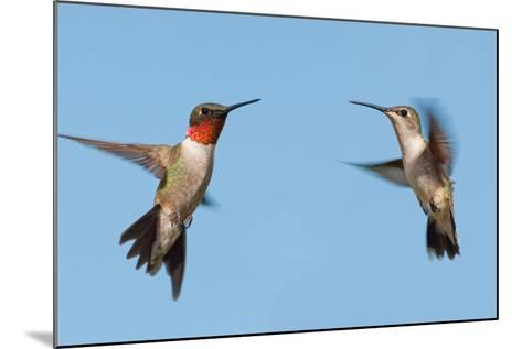 Two Ruby-Throated Hummingbirds, A Male And Female, Flying With A Blue Sky Background-Sari ONeal-Mounted Photographic Print