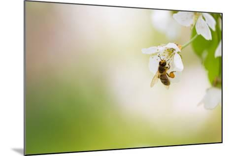 Honey Bee Enjoying Blossoming Cherry Tree On A Lovely Spring Day-l i g h t p o e t-Mounted Photographic Print