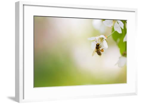 Honey Bee Enjoying Blossoming Cherry Tree On A Lovely Spring Day-l i g h t p o e t-Framed Art Print