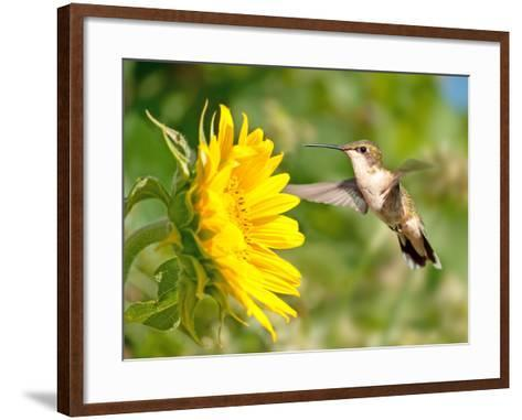 Ruby-Throated Hummingbird Hovering Next To A Bright Yellow Sunflower-Sari ONeal-Framed Art Print