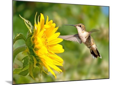 Ruby-Throated Hummingbird Hovering Next To A Bright Yellow Sunflower-Sari ONeal-Mounted Photographic Print