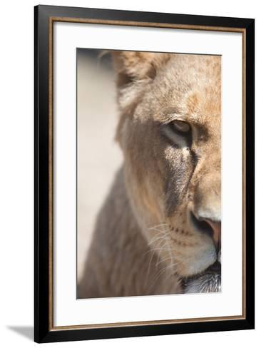 Close-Up Portrait Of A Majestic Lioness (Panthera Leo)-l i g h t p o e t-Framed Art Print