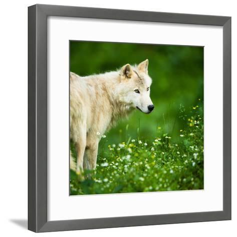 Arctic Wolf (Canis Lupus Arctos) Aka Polar Wolf Or White Wolf-l i g h t p o e t-Framed Art Print