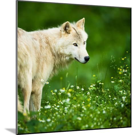 Arctic Wolf (Canis Lupus Arctos) Aka Polar Wolf Or White Wolf-l i g h t p o e t-Mounted Photographic Print