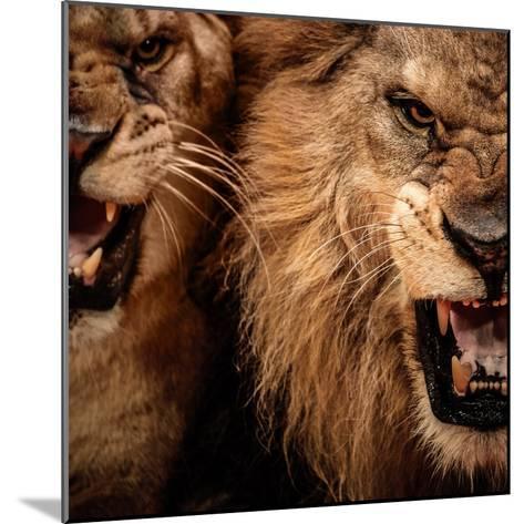 Close-Up Shot Of Two Roaring Lion-NejroN Photo-Mounted Photographic Print