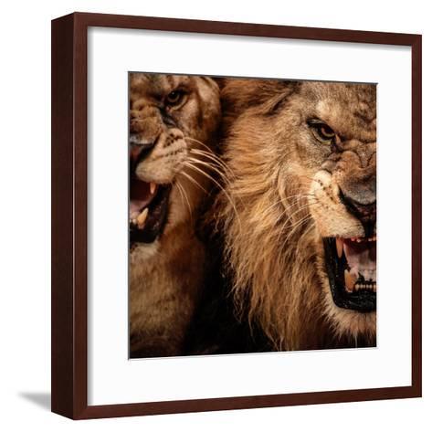 Close-Up Shot Of Two Roaring Lion-NejroN Photo-Framed Art Print